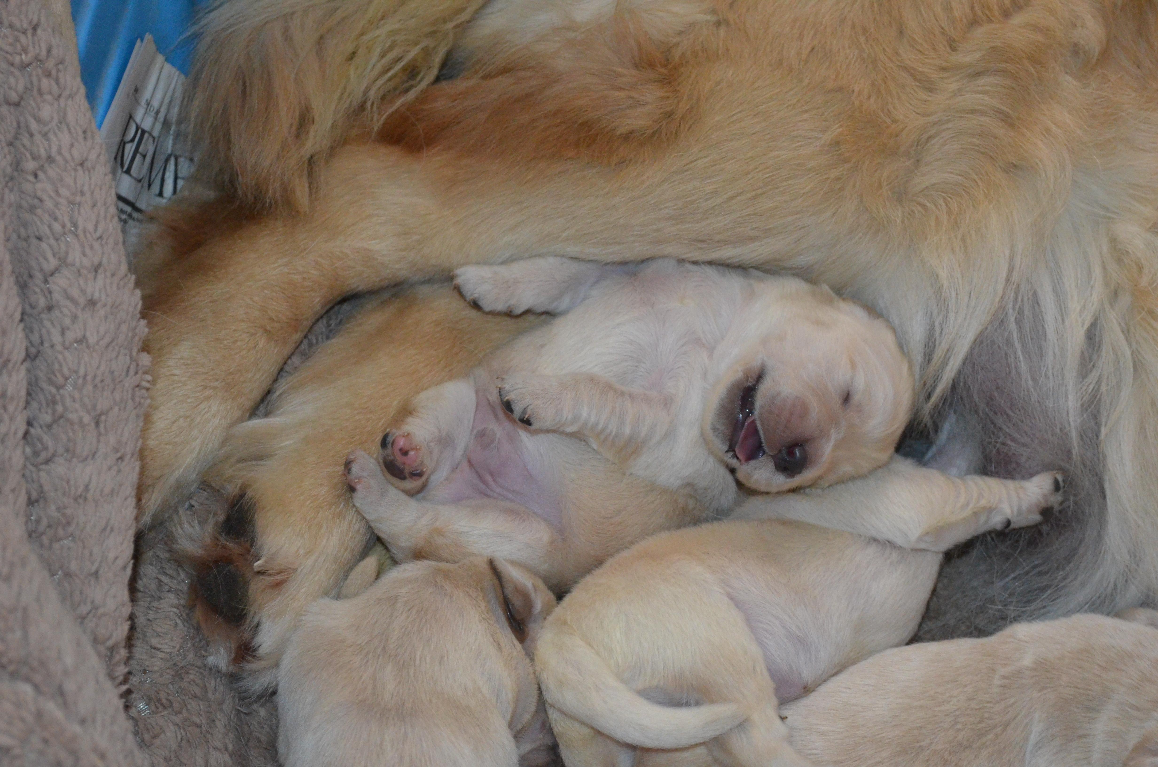 Puppies | Chenil BelCanto Kennel Chenil BelCanto Kennel
